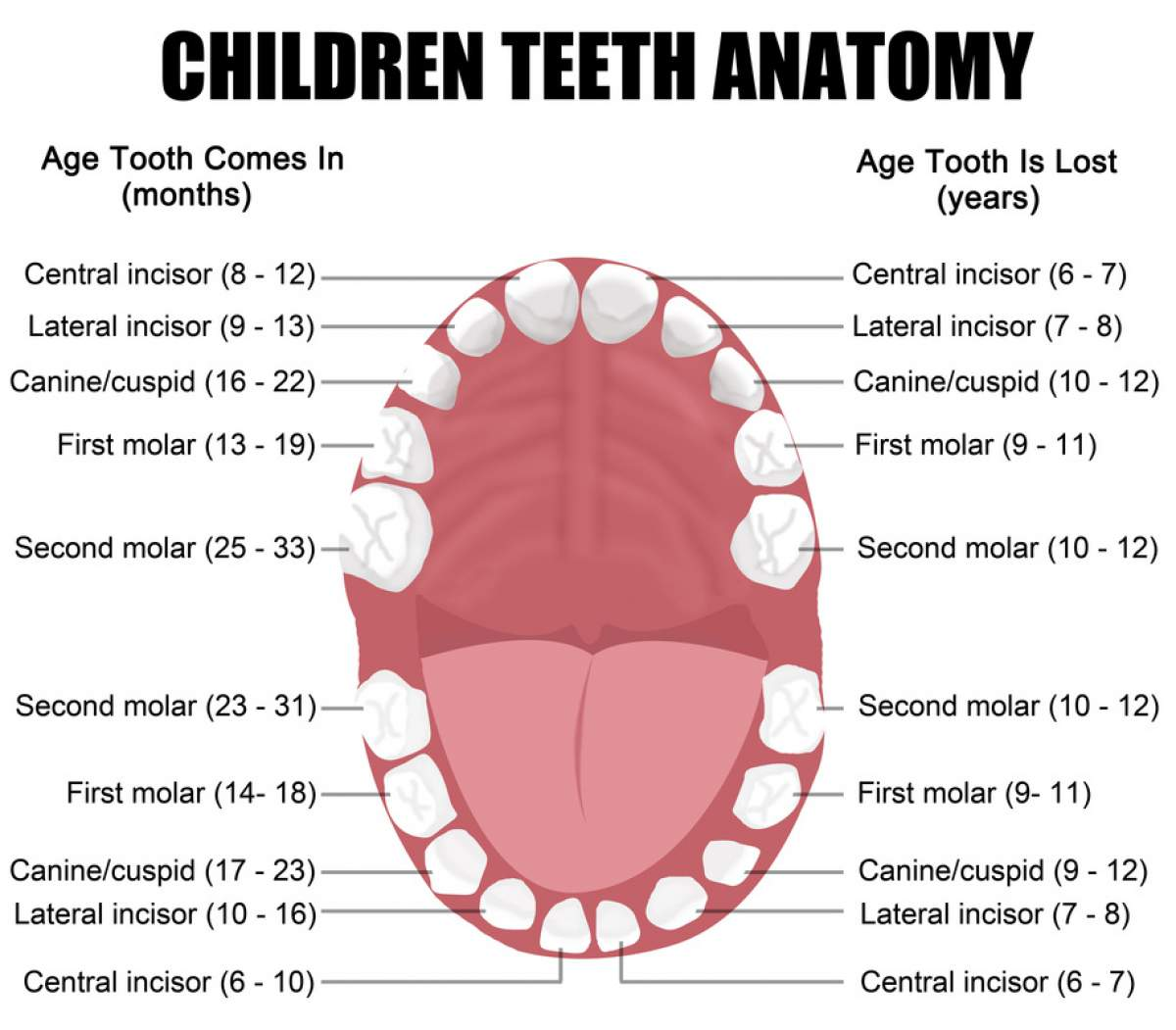 Children Teeth Anatomy | Buffalo.dental | Buffalo Dentist | 716-222-7522
